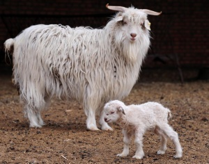 Cashmere Goats